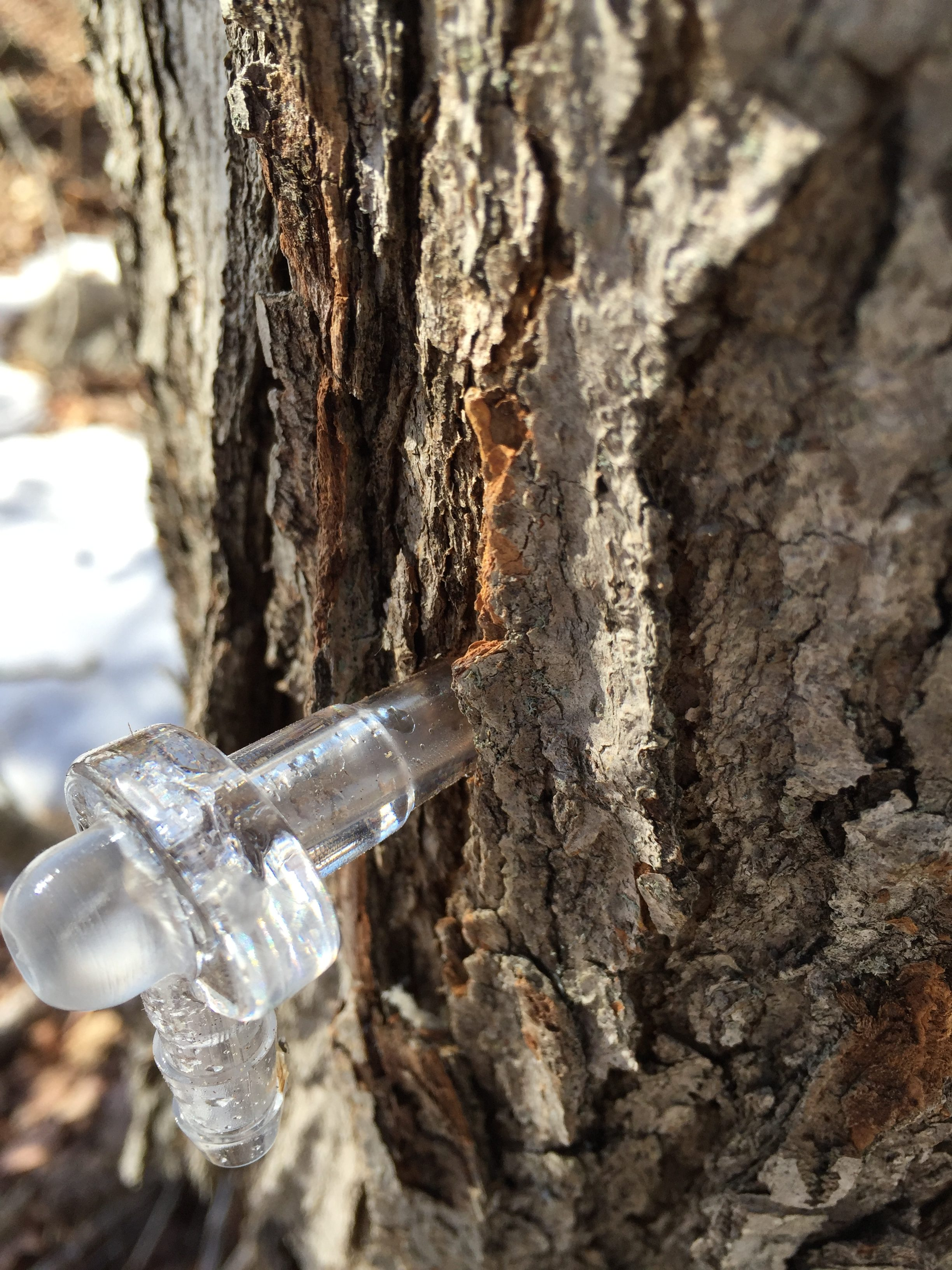 Maple Syrup Season, Part I